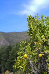 lime-trees